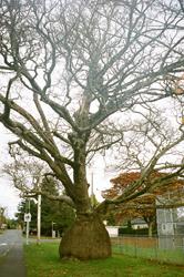 Tree in Victoria
